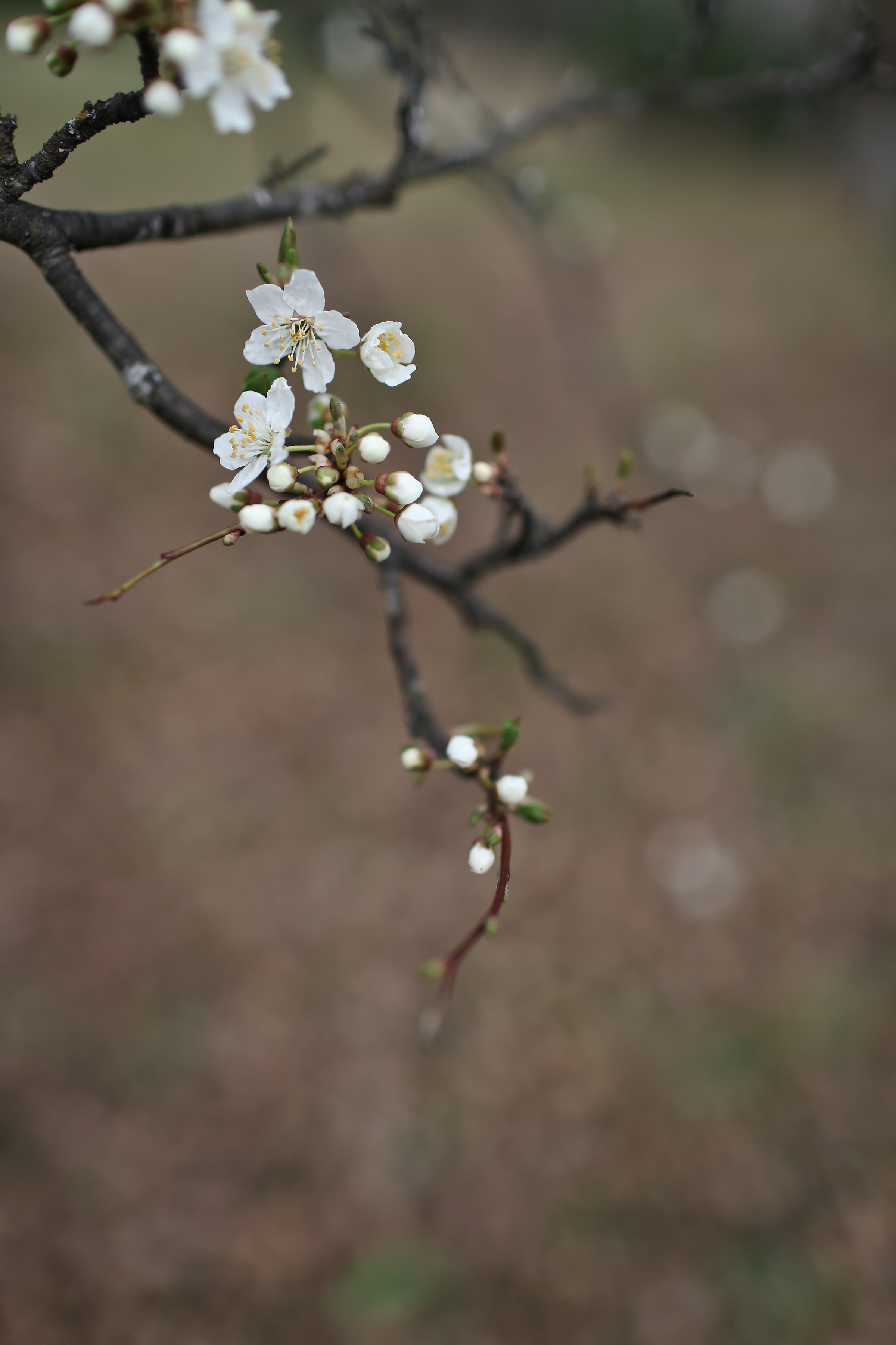 Wild delicious Gallery image white blossom on tree